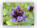 Self Heal (Prunella vulgaris)